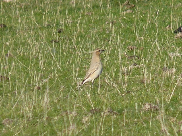 Isabelline Wheatear 2 - Crowlink - 15th October 2011