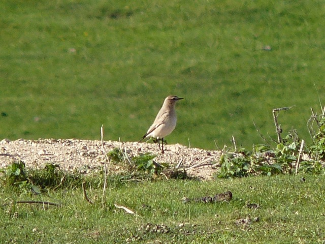 Isabelline Wheatear - Crowlink - 15th October 2011