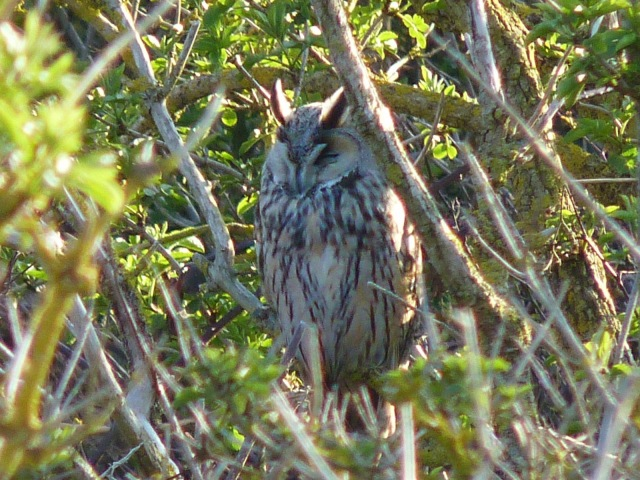 Long-eared Owl (cropped) - Shooters Bottom - 25th May 2013